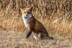 Θηλυκή αλεπού 7295 στοκ εικόνα