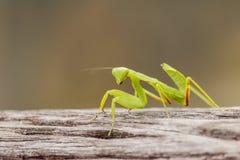 Θηλυκή ευρωπαϊκή Mantis ή επίκληση Mantis, religiosa Mantis, στο ο Στοκ φωτογραφία με δικαίωμα ελεύθερης χρήσης