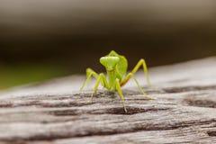 Θηλυκή ευρωπαϊκή Mantis ή επίκληση Mantis, religiosa Mantis, στο ο Στοκ Εικόνες