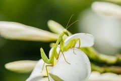 Θηλυκή ευρωπαϊκή Mantis ή επίκληση Mantis, religiosa Mantis, στο λ Στοκ εικόνες με δικαίωμα ελεύθερης χρήσης