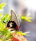Θηλυκή κίτρινη μεγάλη των Μορμόνων πεταλούδα σωμάτων στο λουλούδι Στοκ Εικόνες