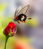 Θηλυκή κίτρινη μεγάλη των Μορμόνων πεταλούδα σωμάτων στο ροδαλό λουλούδι Στοκ Φωτογραφίες