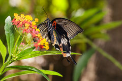 Θηλυκή κίτρινη μεγάλη των Μορμόνων πεταλούδα σωμάτων Στοκ Εικόνες