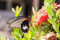 Θηλυκή κίτρινη μεγάλη των Μορμόνων πεταλούδα σωμάτων Στοκ Εικόνα