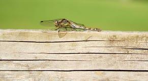 Θηλυκή κοινή λιβελλούλη Darter στοκ εικόνες