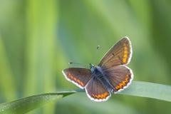 Θηλυκή κοινή μπλε πεταλούδα, Polyommatus Ίκαρος Στοκ φωτογραφίες με δικαίωμα ελεύθερης χρήσης