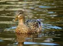 Θηλυκή κολύμβηση παπιών πρασινολαιμών Στοκ εικόνες με δικαίωμα ελεύθερης χρήσης