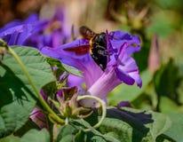 Θηλυκή μέλισσα ξυλουργών Στοκ φωτογραφία με δικαίωμα ελεύθερης χρήσης