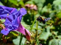 Θηλυκή μέλισσα ξυλουργών Στοκ Εικόνα
