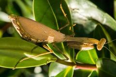 Θηλυκή νοτιοαφρικανική επίκληση Mantis (Miomantis CAF Στοκ εικόνα με δικαίωμα ελεύθερης χρήσης
