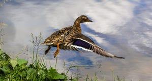 Θηλυκή πάπια κατά την πτήση, πορφυρό κατώτερο φτερό ορατό στοκ εικόνες