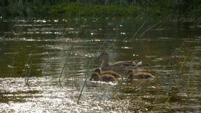 Θηλυκή πάπια πρασινολαιμών με τους νεοσσούς που κολυμπούν στον ποταμό απόθεμα βίντεο