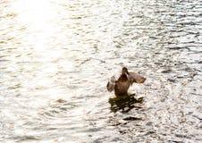 Θηλυκή πάπια Στοκ εικόνα με δικαίωμα ελεύθερης χρήσης