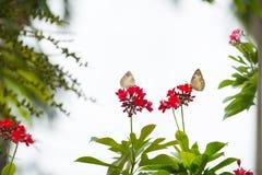 Θηλυκή πέρκα pomona Catopsilia μεταναστών λεμονιών στο λουλούδι Στοκ Εικόνες