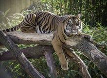 Θηλυκή τίγρη στο κούτσουρο Στοκ Φωτογραφία