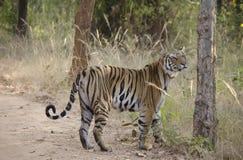 θηλυκή τίγρη της Βεγγάλης Στοκ Φωτογραφίες