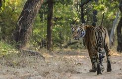 θηλυκή τίγρη της Βεγγάλης Στοκ φωτογραφία με δικαίωμα ελεύθερης χρήσης