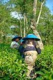 Θηλυκοί αγρότες ζεύγους που συγκομίζουν τα φύλλα τσαγιού Στοκ εικόνες με δικαίωμα ελεύθερης χρήσης