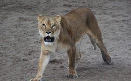 Θηλυκός αφρικανικός βρυχηθμός λιονταριών Στοκ φωτογραφία με δικαίωμα ελεύθερης χρήσης