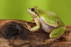 Θηλυκός βάτραχος δέντρων Στοκ Εικόνες