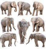 Θηλυκός και αρσενικός ελέφαντας της Ασίας που απομονώνεται Στοκ εικόνες με δικαίωμα ελεύθερης χρήσης
