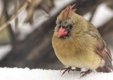 Θηλυκός καρδινάλιος στο χιόνι Στοκ εικόνα με δικαίωμα ελεύθερης χρήσης