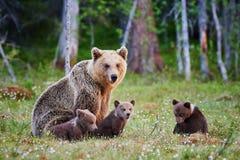 Θηλυκός καφετής αντέχει και cubs της Στοκ Εικόνες