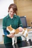 Θηλυκός κτηνίατρος που εξετάζει τη γάτα στη χειρουργική επέμβαση Στοκ Φωτογραφίες