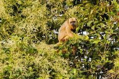 Θηλυκός μαύρος πίθηκος μαργαριταριού στο δέντρο Vocalizing Στοκ Εικόνες