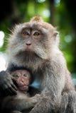 Θηλυκός πίθηκος macaque με cub στο δάσος πιθήκων, Μπαλί, Ινδονησία Στοκ εικόνα με δικαίωμα ελεύθερης χρήσης