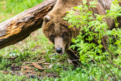 Θηλυκός σταχτύς αντέχει στο δάσος Στοκ φωτογραφίες με δικαίωμα ελεύθερης χρήσης