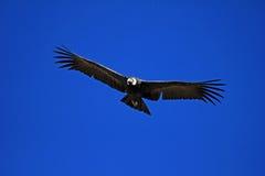 Θηλυκός των Άνδεων κόνδορας που πετά κοντά Στοκ φωτογραφίες με δικαίωμα ελεύθερης χρήσης