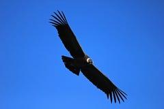 Θηλυκός των Άνδεων κόνδορας που πετά κοντά Στοκ φωτογραφία με δικαίωμα ελεύθερης χρήσης