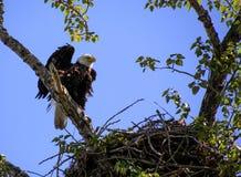 Θηλυκός φαλακρός αετός που προσέχει πέρα από τους νεοσσούς Στοκ Εικόνες