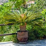 Θηλυκός φοίνικας σάγου flowerpot Στοκ Εικόνες