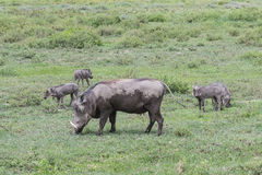 Θηλυκός χοίρος και χοιρίδια Warthog Στοκ φωτογραφίες με δικαίωμα ελεύθερης χρήσης
