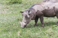 Θηλυκός χοίρος Warthog Στοκ εικόνες με δικαίωμα ελεύθερης χρήσης