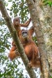Θηλυκός orangutan με ένα μωρό που κρεμά σε ένα δέντρο Στοκ φωτογραφίες με δικαίωμα ελεύθερης χρήσης
