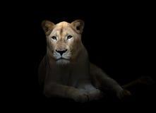 Θηλυκό άσπρο λιοντάρι στο σκοτάδι Στοκ Εικόνες