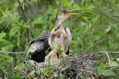 Θηλυκό αμερικανικό Anhinga με τις νεολαίες στη φωλιά - Everglades εθνικό Στοκ Φωτογραφίες