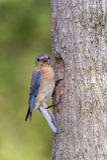 Θηλυκό ανατολικό Bluebird που εξετάζει τη κάμερα στοκ φωτογραφία