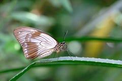 Θηλυκό αφρικανικό Swallowtail, Mocker Swallowtail ή πετώντας χαρτομάνδηλο, dardanus papilio Στοκ Εικόνα