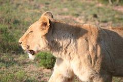 Θηλυκό λιοντάρι στη Νότια Αφρική Στοκ Εικόνες