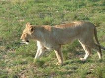 Θηλυκό λιοντάρι στη Νότια Αφρική Στοκ Φωτογραφίες