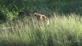 Θηλυκό λιοντάρι στη χλόη θάμνων φιλμ μικρού μήκους