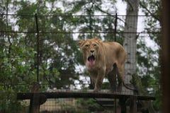 Θηλυκό λιοντάρι Στοκ Φωτογραφίες