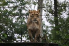 Θηλυκό λιοντάρι Στοκ εικόνες με δικαίωμα ελεύθερης χρήσης