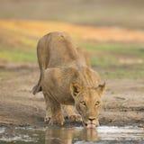 Θηλυκό λιοντάρι (leo Panthera) που πίνει στοκ φωτογραφία