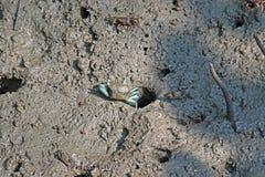 Θηλυκό καβούρι Fiddler με τα μπλε πόδια που προέρχονται από μια τρύπα Στοκ Εικόνες