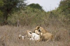 Θηλυκό και αρσενικό λιοντάρι στο εθνικό πάρκο Kruger, Νότια Αφρική Στοκ Φωτογραφίες